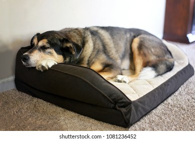 An old German Shepherd Border Collie Mix Breed Canine is resting in a soft dog bed at home.