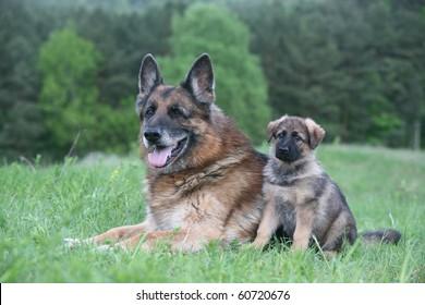 old german shepherd and a german shepherd puppy