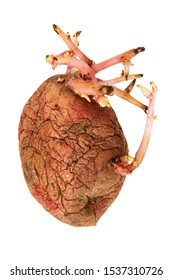 Old germinated pink potato isolated on white background. Big sprouts