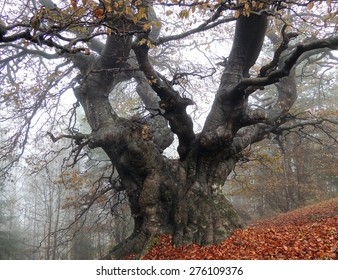 Old Giant Beech Tree In A Gloomy Late Autumn Day