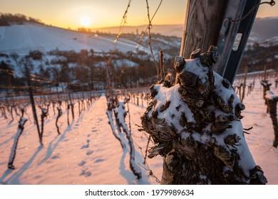 Alte Weinrebe mit Schnee im Weinberg im Winter, Nahaufnahme