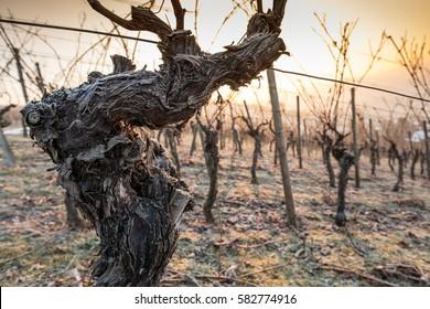 Old gnarled vine in winter in a vineyard in sunlight