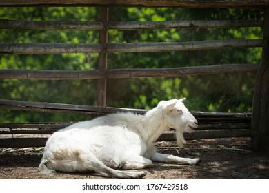 Old goat resting.