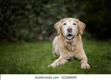 Old Golden Labrador Dog Lies in Green Garden