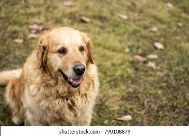 old golden retriever dog