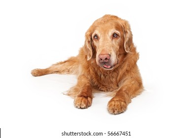 Old Golden Retriever dog laying down and isolated on white