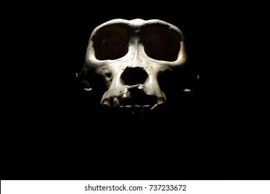 Old gorilla skull on a black background