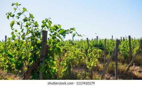 Old grassy green vineyard with a young vine