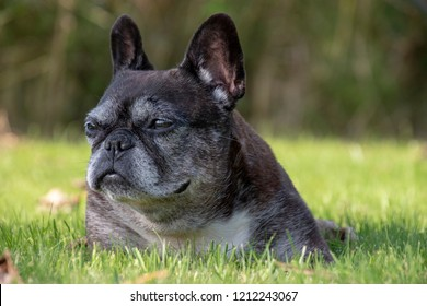 Old gray French bulldog lying in a grass field staring into the distance.