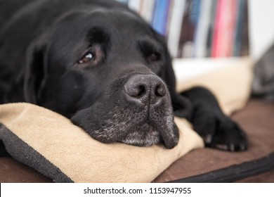 Old Graying and Tired Black Labrador Laying in Bed