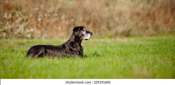 old great dane dog lying down outdoors