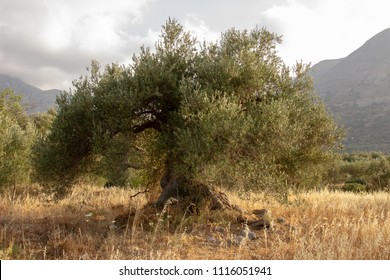 Old greece olive tree