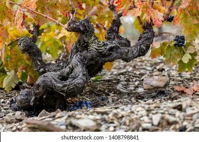 Old grenache grapevine in Priorat Region, Tarragona, Catalonia, Spain.