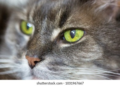 Old grey cat with green eyes in macro