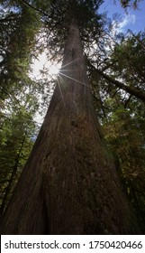 Old growth fir tree with the sun shining through the branches.