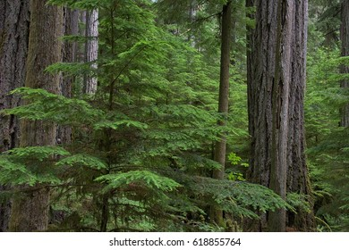 Old growth forest green foliage details and texture tree bark and trunks temperate rainforest texture background