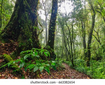 Old growth forest in the rainy season mosses and ferns at the trees.