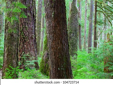 Old growth Hemlock and Douglas-Fir Trees in Olympic National Park,WA