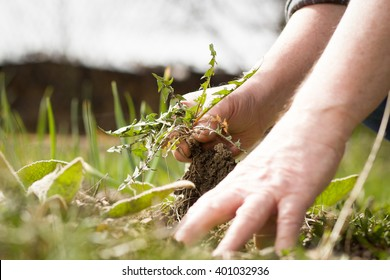 An old hand of active senior pulling out weed of his huge botanic garden; clearing; doing properly; hard work (focus on weed)