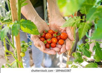Old hands showing a bunch of ripe homegrown cherry tomatoes, next to the plants. Organic harvest