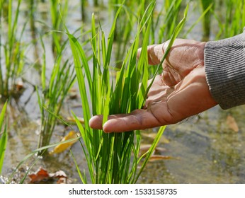 Old hard-working farmer's hand touching green leaves of rice trees in a paddy field - a beautiful outcome from his hard work