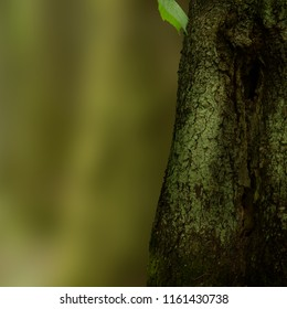 Old hollow fir tree, bark texture on blurred background