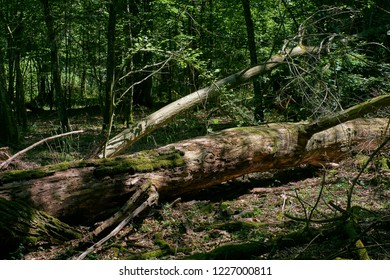 Old hornbeam tree broken lying in summer forest, Bialowieza Forest, Poland, Europe