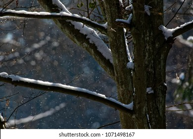 Old hornbeam tree in snowfall with branches snoww wrapped, Bialowieza Forest, Poland, Europe
