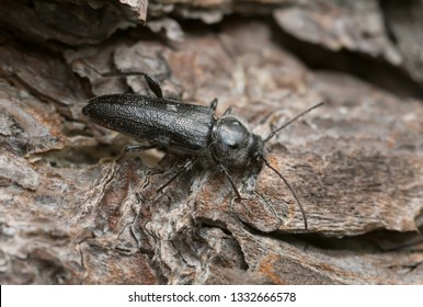 Old house borer, hylotrupes bajulus on pine bark. This beetle can be a pest on old houses.