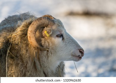 old house sheep breed Skudde in winter, red list, willow, captive, Brandenburg, Germany Europe