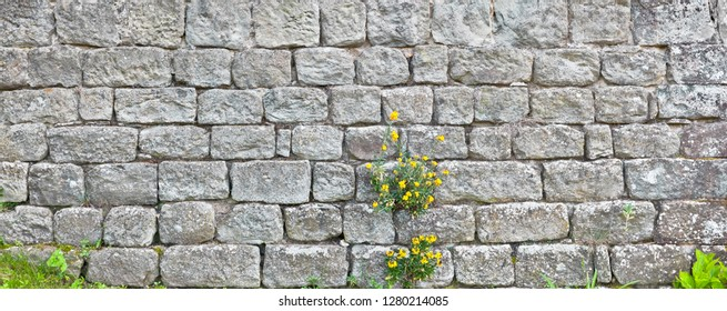 Old house wall with wallflower