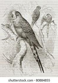 Old illustration of Budgerigar (Melopsittacus undulatus). Created by Kretschmer and Jahrmargt, published on Merveilles de la Nature, Bailliere et fils, Paris, 1878