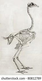 Old illustration of a cock's skeleton. By unidentified author, published on Merveilles de la Nature, Bailliere et fils, Paris, 1878