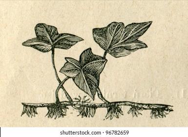 Old illustration of ivy by unknown artist from Budowa i Zycie rosliny, author Wladyslaw Kozlowski, publishing house M.Arcta, Warsaw, 1908 - Shutterstock ID 96782659