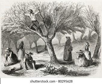 old illustration of olive harvesting near Toulon, France. Created by Gaildrau, published on L'Illustration Journal Universel, Paris, 1857