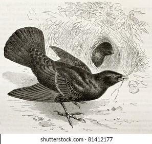 Old illustration of Satin Bowerbird (Ptilonorhynchus violaceus). Created by Kretschmer and Illver, published on Merveilles de la Nature, Bailliere et fils, Paris, 1878