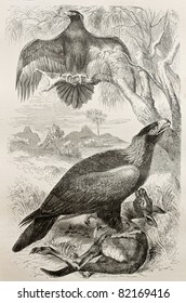 Old illustration of Wedge-tailed Eagle (Aquila audax) . Created by Kretschmer and Jahrmargt, published on Merveilles de la Nature, Bailliere et fils, Paris, 1878
