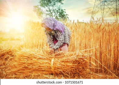 An old indian woman collecting and tying a bundle of ripe wheat stalk in the field ; Haryana ; India