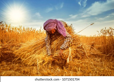An old indian woman Farmer collecting bundles of wheat stalk ; Haryana ; India