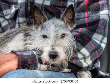 Old Jack Russell dog in his owner's arms