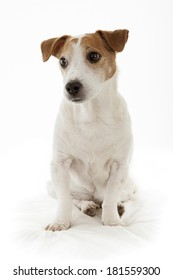 old jack russell terrier dog