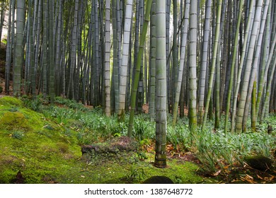 Old Japanese giant bamboo growing dense in the forest garden in Japan