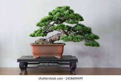 Old Japanese white pine bonsai for show