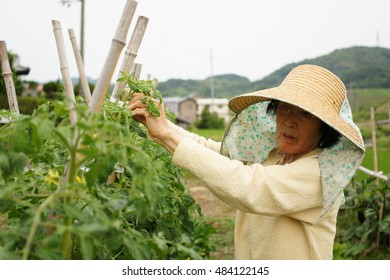 Old Japanese woman farming in a home garden