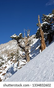 old juniper trees on the snowy side of a Sierra Nevada mountain in the winter