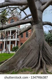 old kapok tree in front yard of old brick building in Key West
