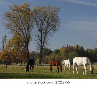old kladrubian horses on pasture, National Stud Kladruby, Czech republic, Europe