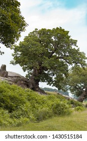 Old knotty oak tree in Bradgate Park