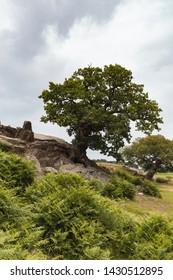 Old knotty oak tree in a park