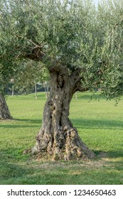 Old, knotty olive tree